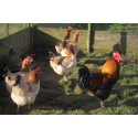 6 Exhibition Quality French Wheaton Maran Hatching Eggs from A&J Poultry