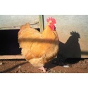 6 Exhibition Quality Large fowl Buff Orpington Hatching Eggs From A&J Poultry