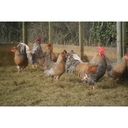 6 Exhibition Quality Large fowl Cream Crested Legbar Hatching Eggs A&J Poultry