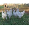 6 Exhibition Quality Lavender Araucana Hatching eggs from A&J Poultry