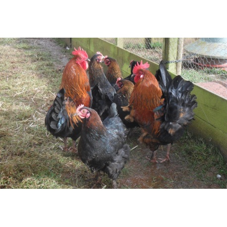 6 Exhibition Quality French Copper Black Maran Hatching Eggs from A&J Poultry
