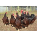 6 Exhibition Quality Rhode Island Red Hatching Eggs from A&J Poultry