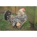 6 Exhibition Quality Lemon Millefleur Sablepoot Bantam Hatching Eggs A&J Poultry