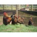 6 Exhibition Quality Gold Laced Wyandotte Bantam Hatching Eggs A&J Poultry