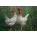 6 Exhibition Quality Lavender Leghorn Hatching Eggs from A&J Poultry