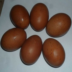 Six Exhibition Quality Cuckoo Maran Hatching Eggs